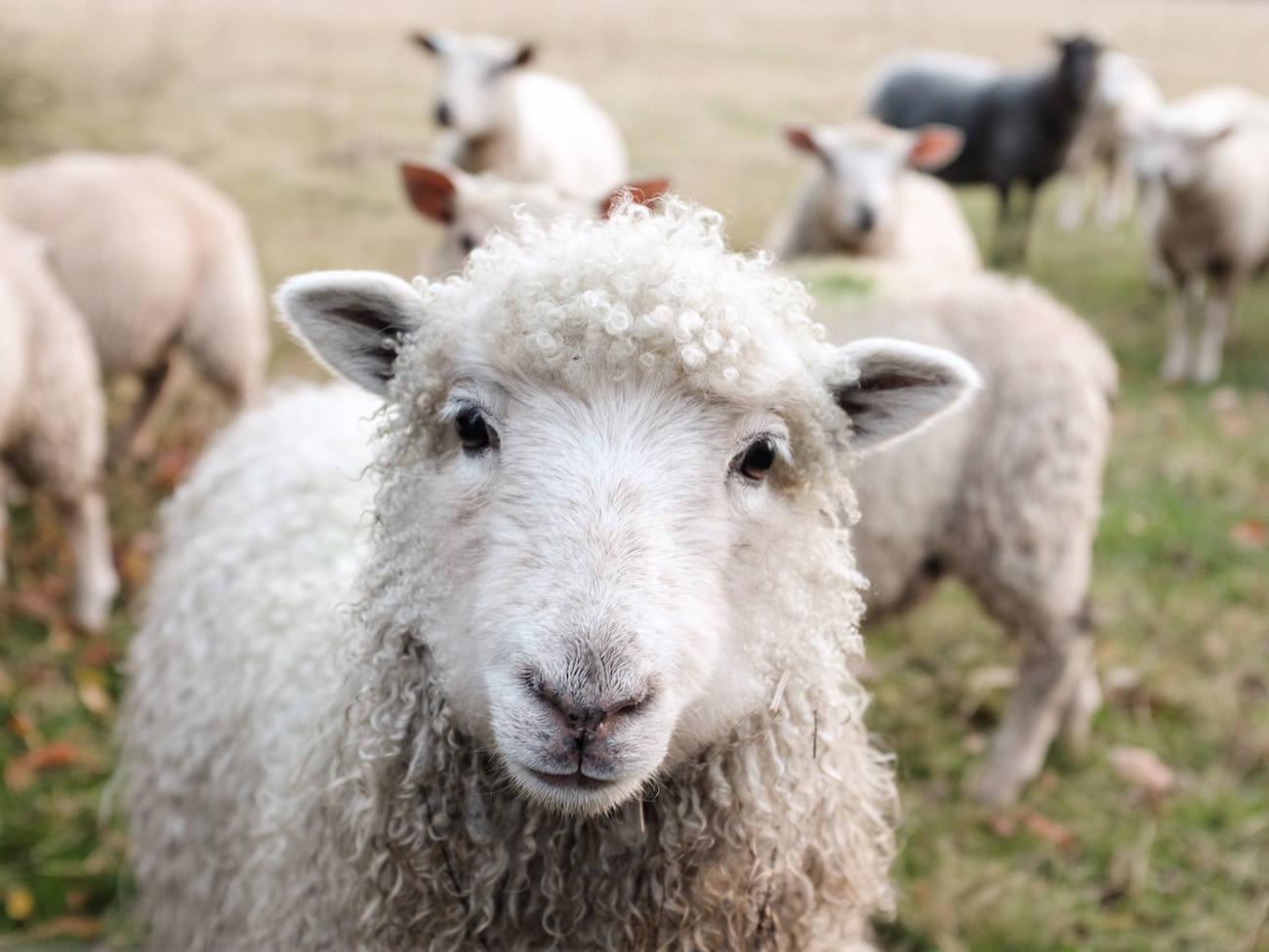 Sheep Wool Local Farm